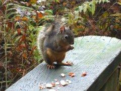 Douglas squirrel 4