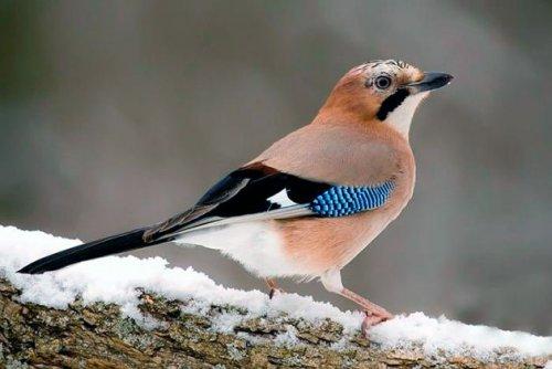 ptica-sojka.thumb.jpg.3dfbe1b6439a0fe27de58d45044a5703.jpg